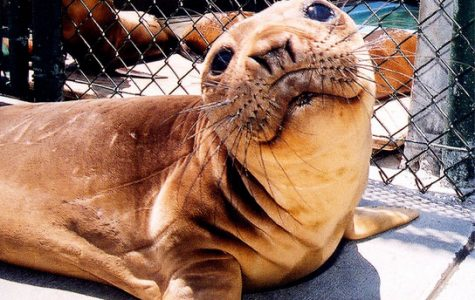 Gimpy the Excellent Elephant Seal