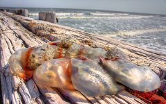 Beware of Jellies at Charleston Beaches