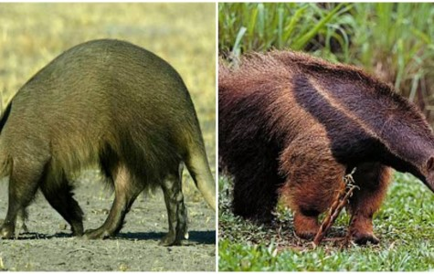 What's the difference between aardvarks and anteaters?