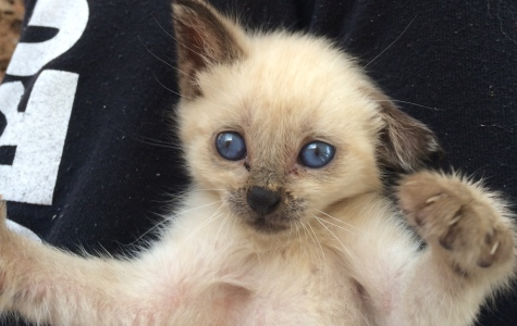 Looking for Service Hours? What to Know About Fostering Kittens