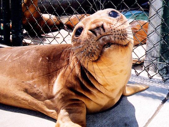 Gimpy the Excellent Elephant Seal