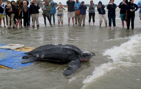 Saving Leatherback Sea Turtles in Charleston