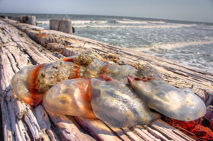 Beware of Jellies at Charleston Beaches