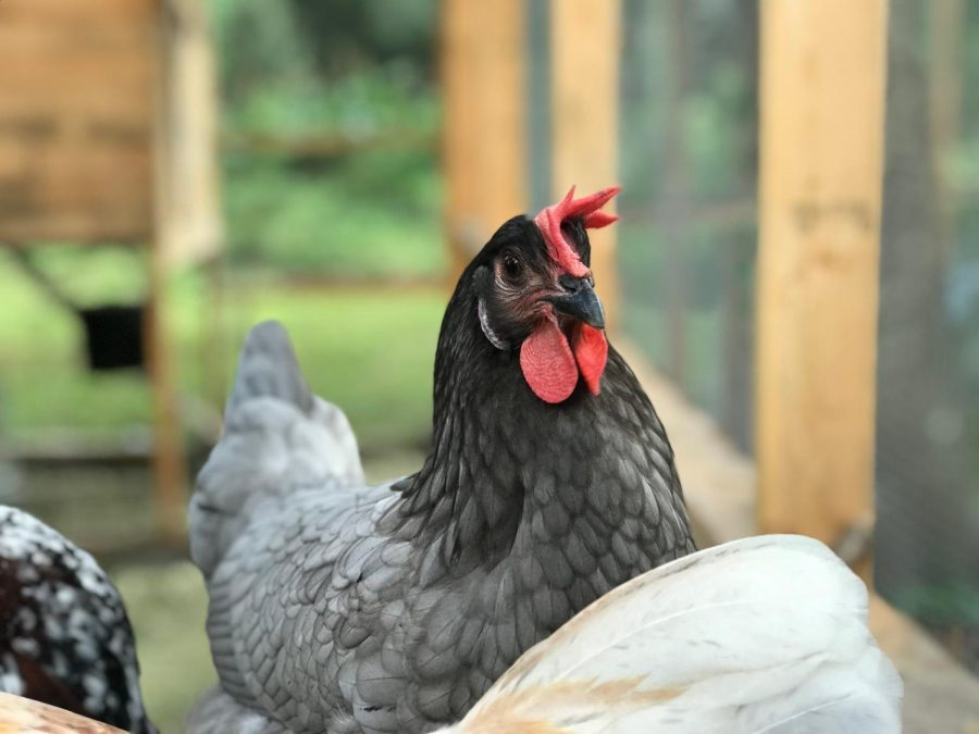 Chickens: the Severely Underrated Pets